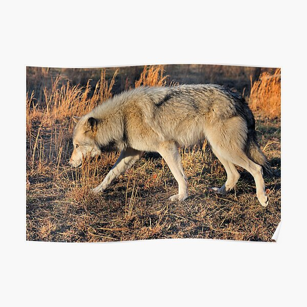 Ahote the Wolf Hybrid Poster