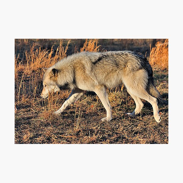 Ahote the Wolf Hybrid Photographic Print