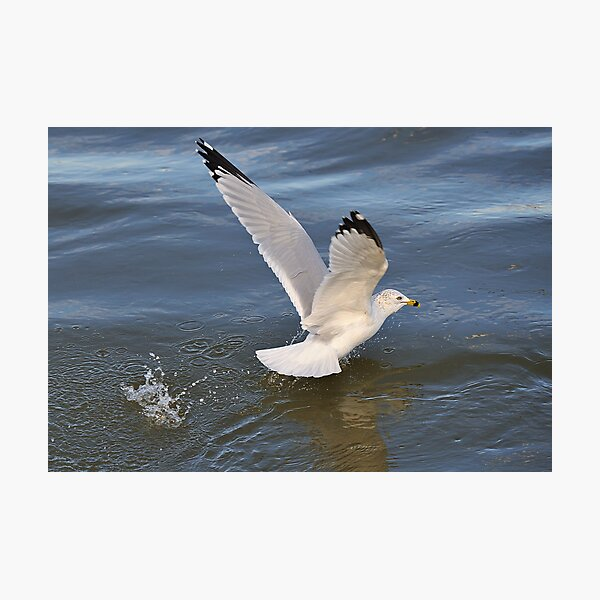 Gull on the river Photographic Print