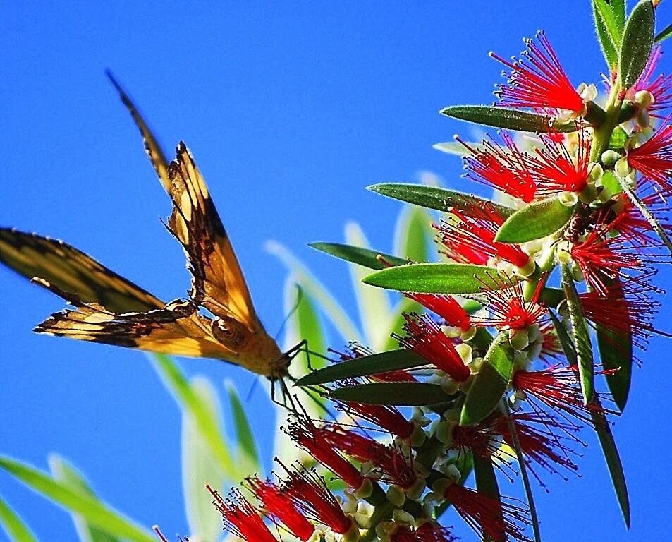 Butterfly on Bottlebrush by pianoann