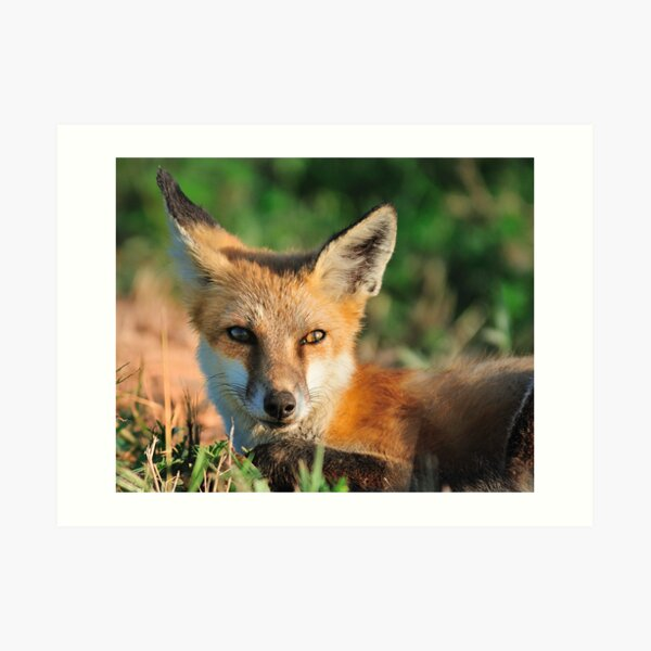 Red Fox Look Art Print