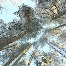 Snowy Pine Tree Tops by Alyson Fennell