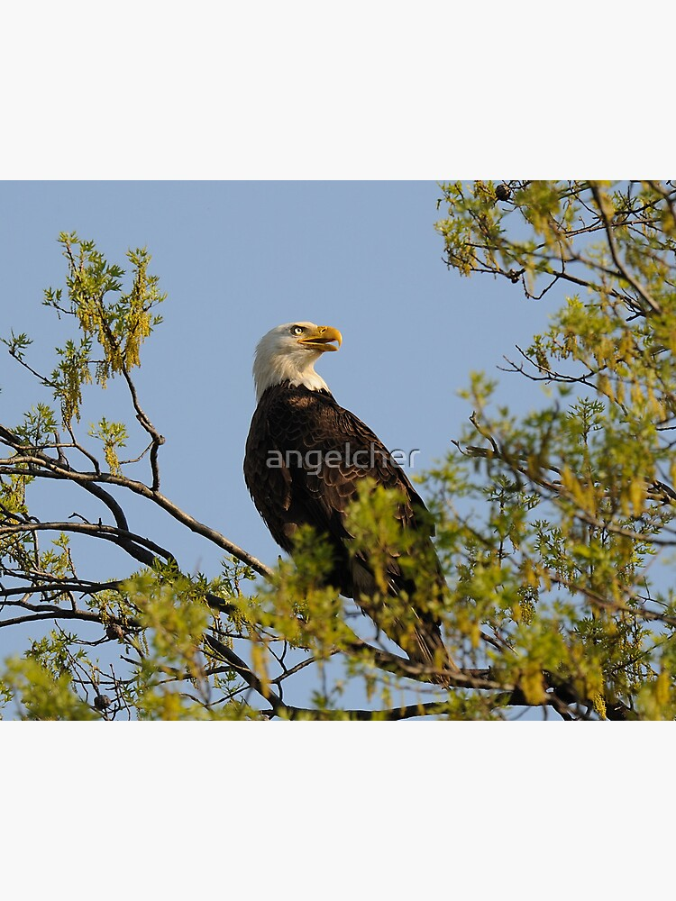 Eagle by angelcher