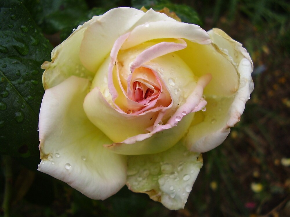 Raindrops on Roses by shutterfly88