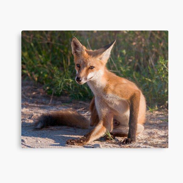 Red Fox In Summer Metal Print