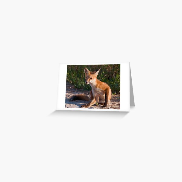 Red Fox In Summer Greeting Card