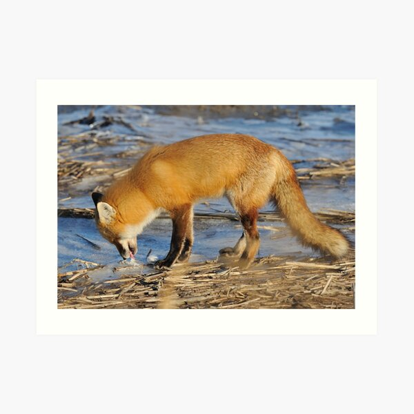 Fox ..stop for a drink? Art Print