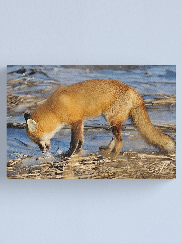 Alternate view of Fox ..stop for a drink? Canvas Print