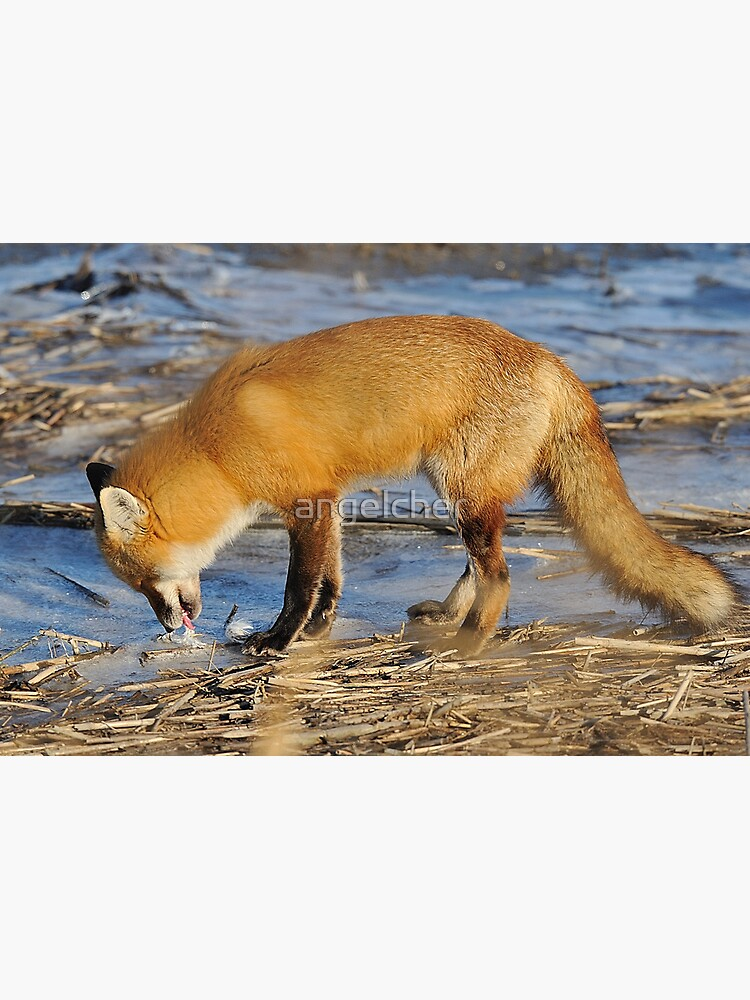 Fox ..stop for a drink? by angelcher