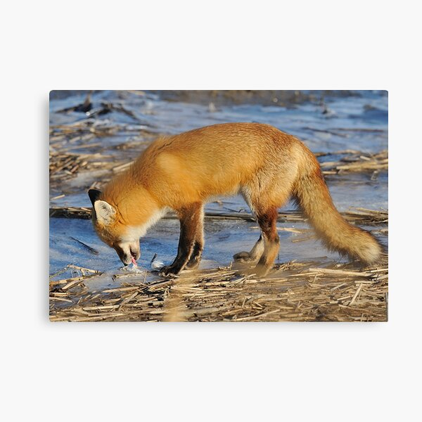 Fox ..stop for a drink? Canvas Print