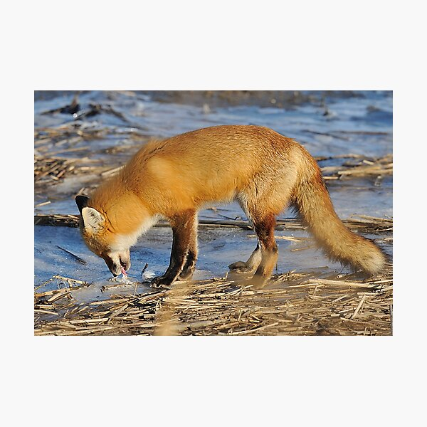 Fox ..stop for a drink? Photographic Print