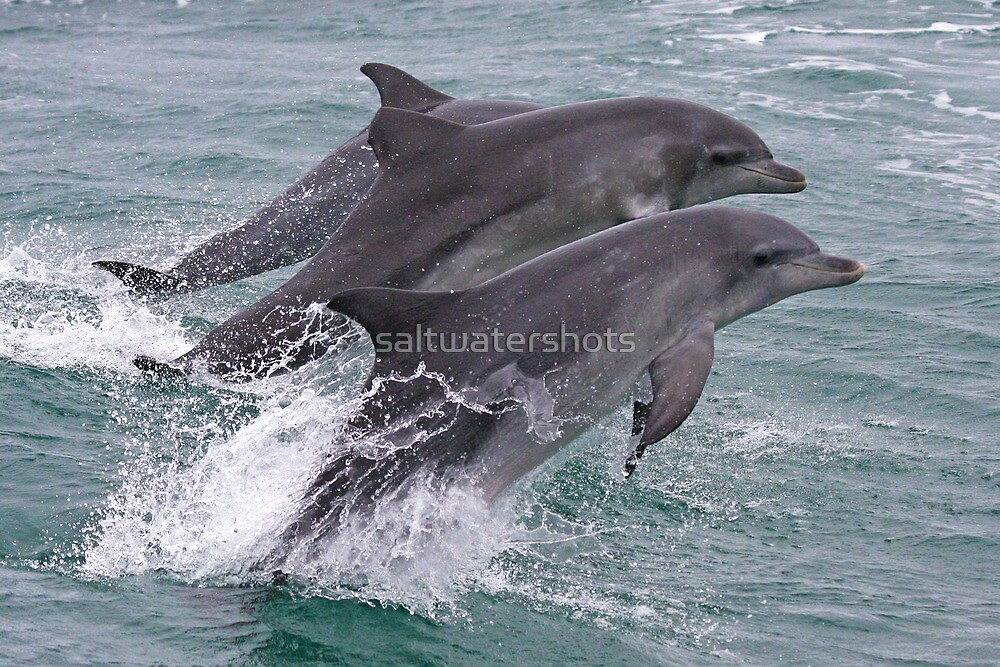 """Y Flying Dolphins """"Flying Do..."""