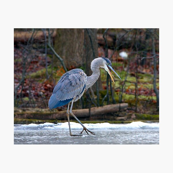 Heron on Ice Photographic Print