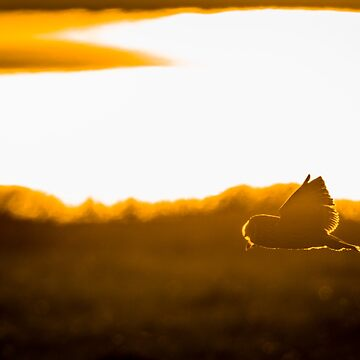 Short Eared Owl flying in the sunset by Dalyn