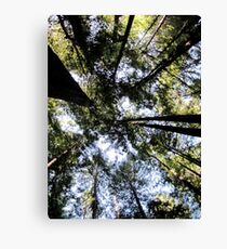 Gazing upwards in the Avenue of the Giants Canvas Print