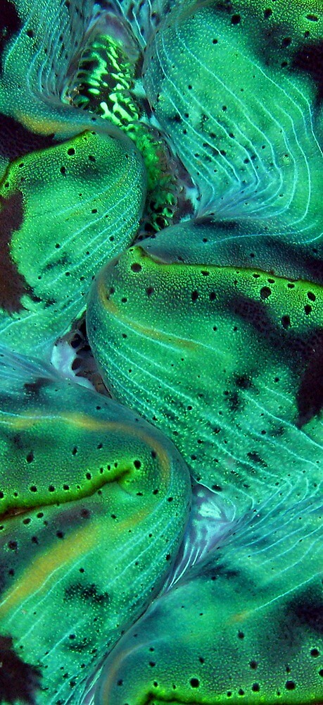 Maxima Green by Reef Ecoimages