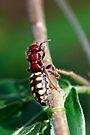 Flower Wasp - Thynnus apterus?  by Normf