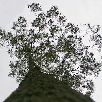 Giant Eucalypt in Mapleton Forest by kaety