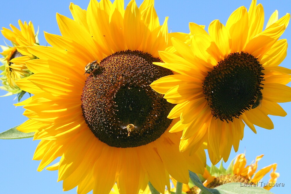 Sunflowers and Bees by Laurel Talabere