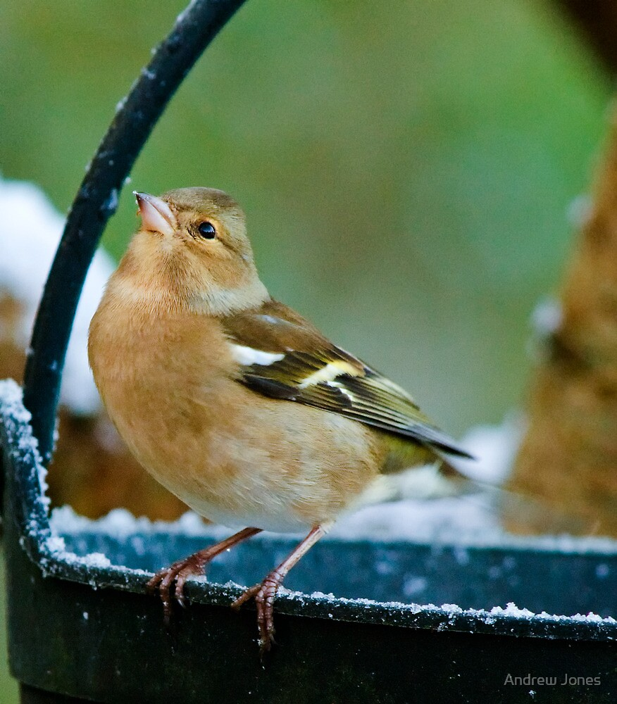 Finch on a frosty morning, County Kilkenny, Ireland by Andrew Jones