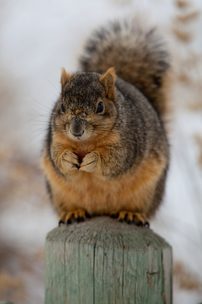 Squirrel on the Fence by Belle Ciezak