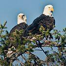 Portrait of Bald Eagles by David Friederich