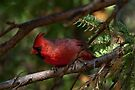 Red Cardinal by Elaine Manley