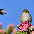 Pretty On Pink - Silvereye NZ by AndreaEL