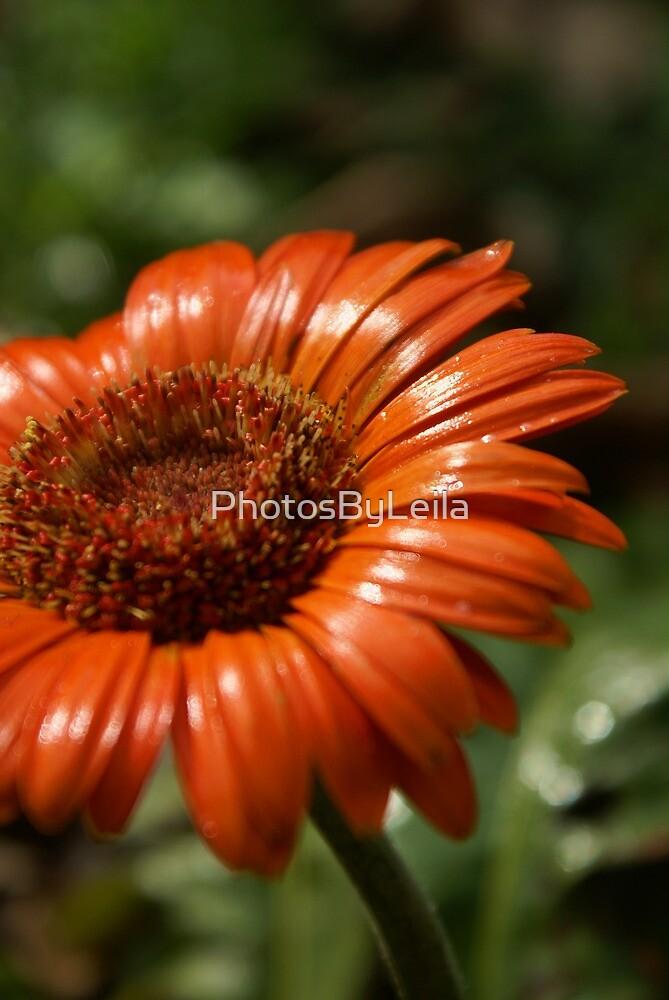 Need some orange, Daisy? by PhotosByLeila
