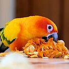 Pumpkin Pip Pile - Sun Conure - NZ by AndreaEL