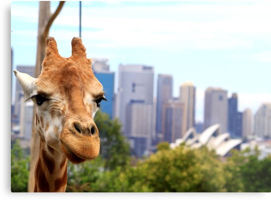 Giraffe in the city by aussiebob