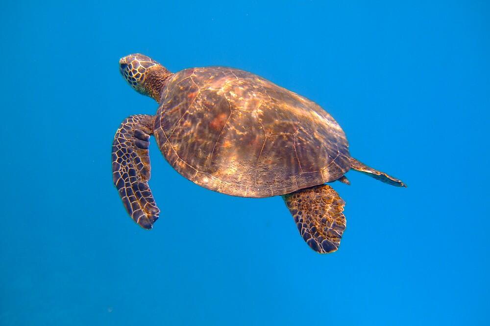 Green sea turtle, Place of Refuge, Hawaii by Marijke Wilhelmus