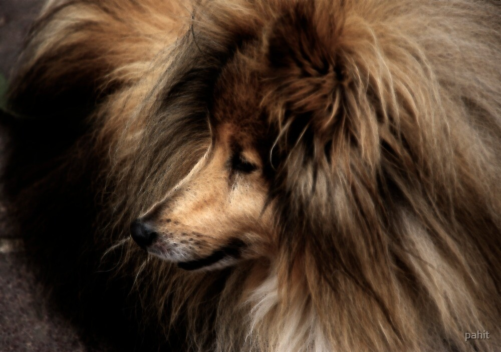 Sheltie by pahit