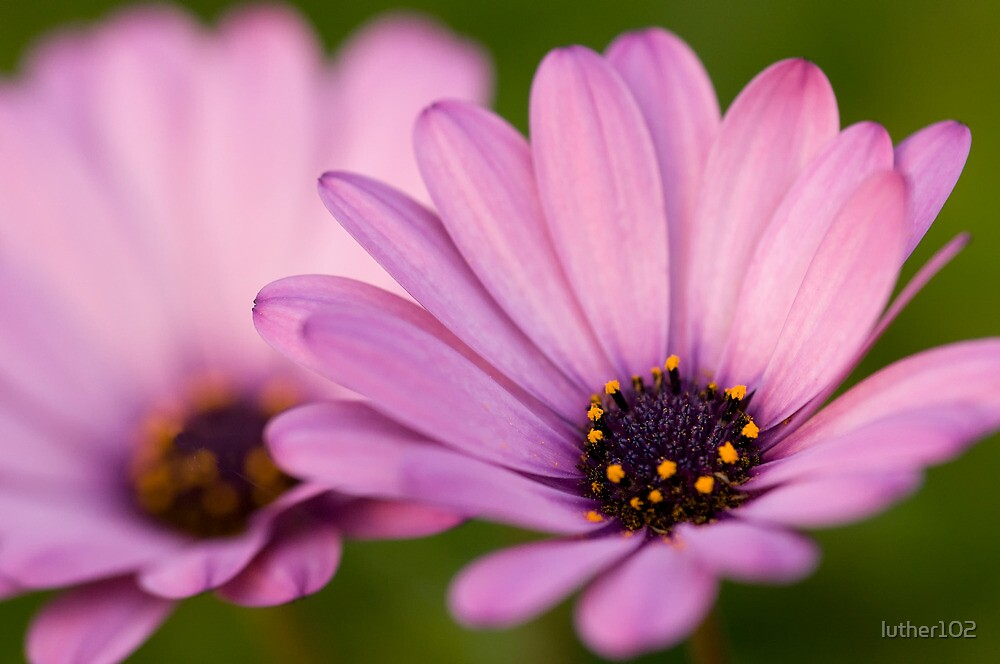 Purple daisies by luther102