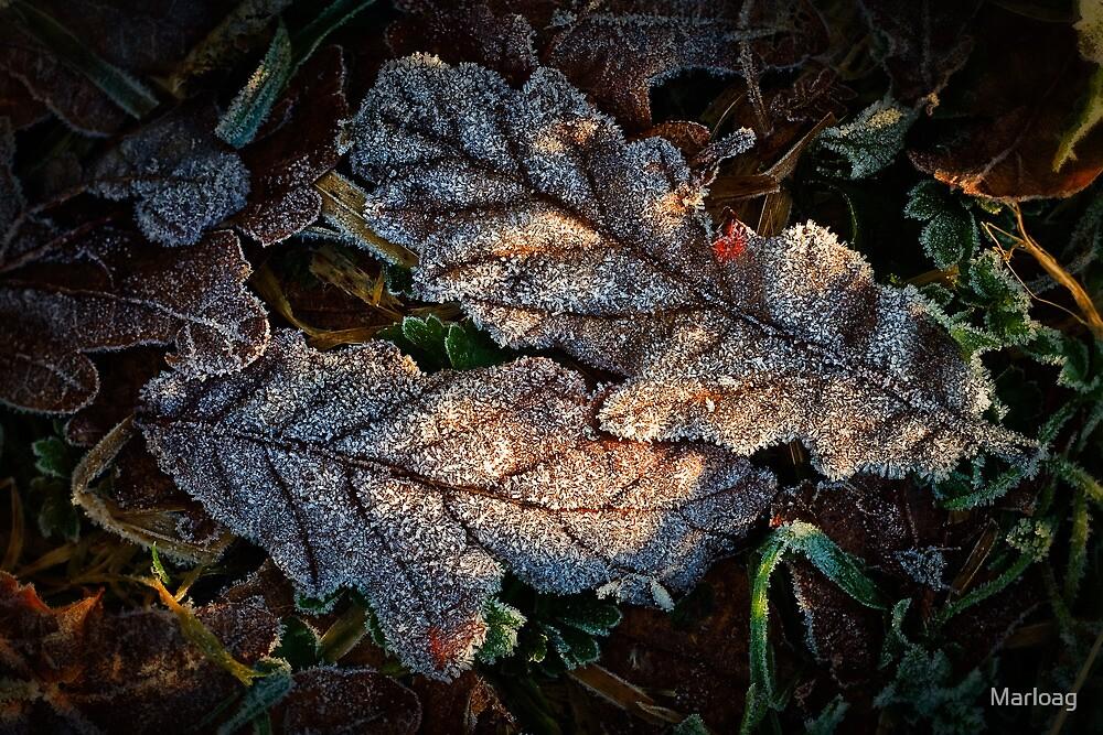 Frosted Oak by Marloag