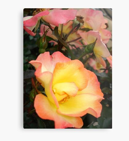 Rose, yellow and pink Metal Print