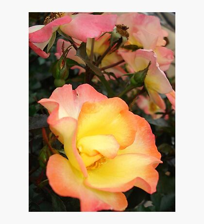 Rose, yellow and pink Photographic Print