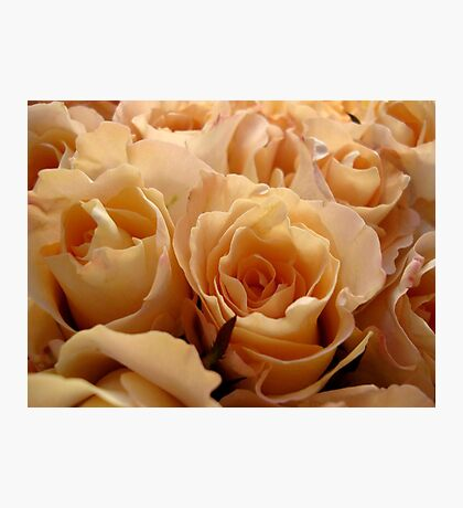 Apricot roses Photographic Print