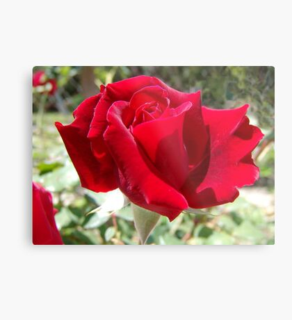 Red rose of summer Metal Print