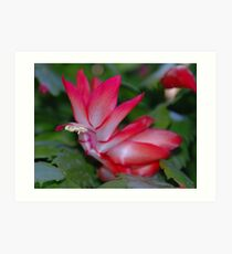 Christmas Catus Flower Art Print