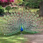 Peacock on display by TonyCrehan