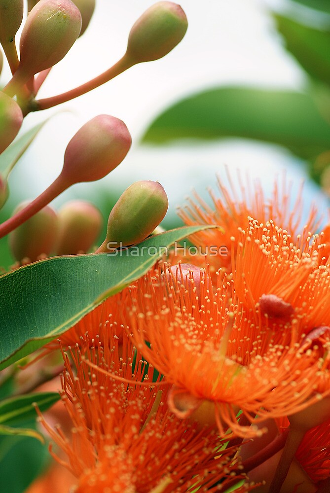 Give Me A Home Among The Gum Trees by Sharon House
