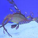 Weedy sea dragon by Christine Oakley