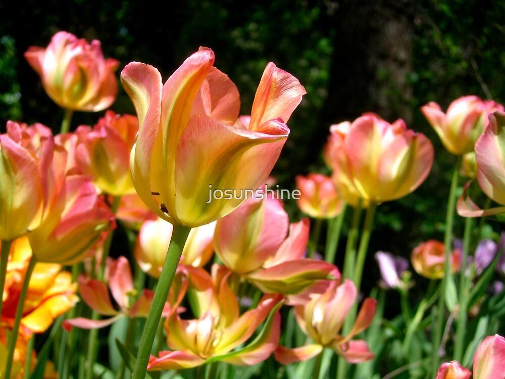 Spring Tulip Flowers by josunshine