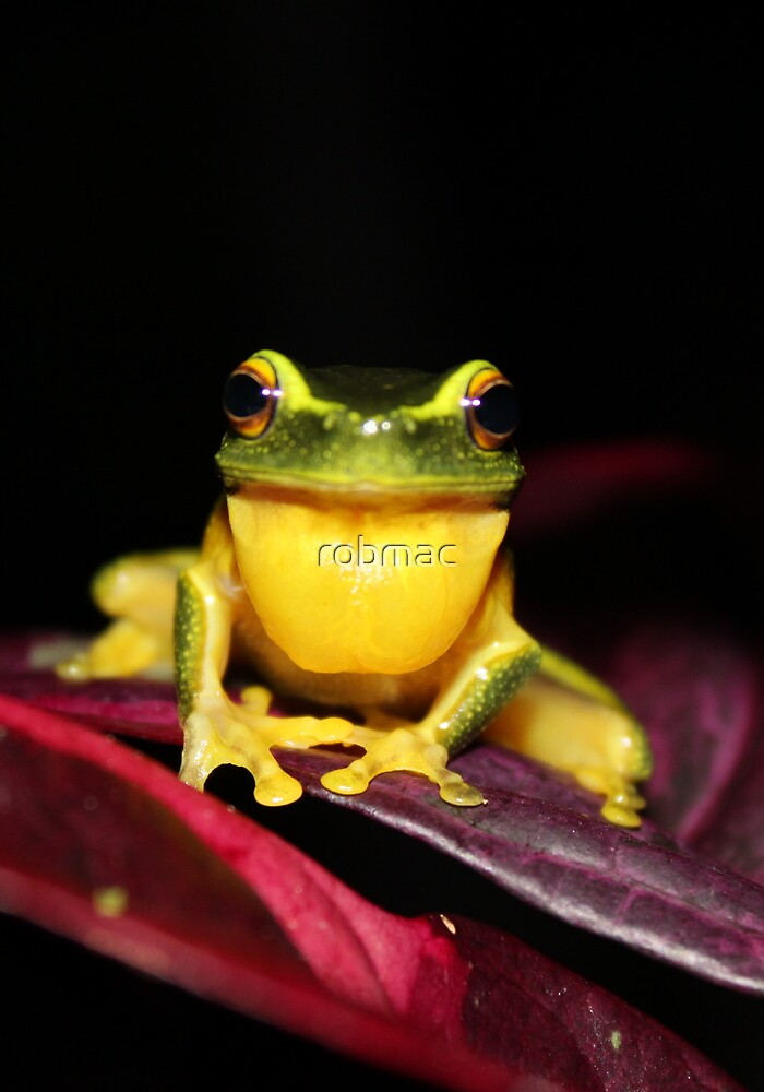 Dainty Greentree Frog 2 by robmac