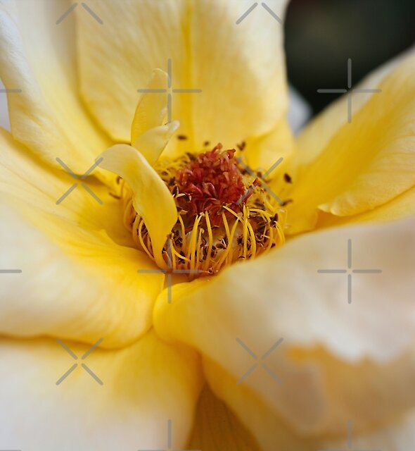 Middle Of Yellow Rose by Joy Watson