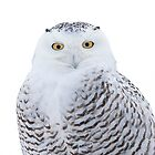Snowy owl in winter by Jim Cumming