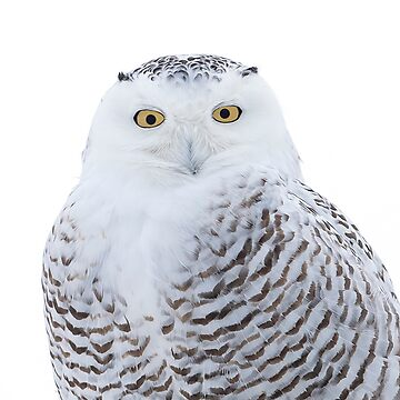 Snowy owl in winter by darby8