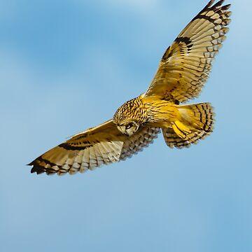 Hunting Short eared owl by Dalyn