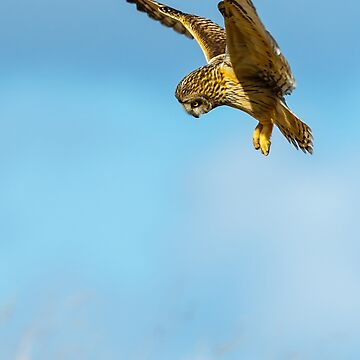 A hunting Short-eared  owl hunting in the sunshine looking at its prey by Dalyn